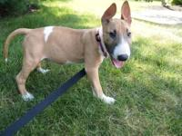 # # Very handsome male English Bull Terrier puppy. He