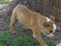 English Bulldog male 5 1/2 months old. Fawn and white,