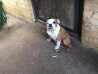www.englishbulldogpuppiesdfw.com cowyboy is 6 months