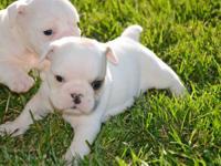 Akc English Bulldog Puppies For Sale In Vallejo California Classified Americanlisted Com