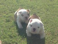 Akc reg male English bulldog puppy. Our bullies are
