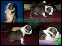 English Buldog Male Pup AKC Grand Champion sired.Born