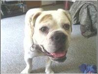 Rocky is an 8 month old English Bulldog. He is full of