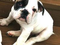 Must sell our beautiful english bulldog,,we don't have