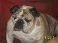 We have a beautiful English Bulldog available. Pet home
