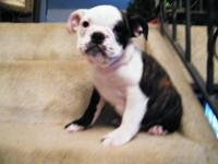 Dark Brindle Bulldog Puppy...UTD on shots and one