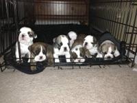 I have 3 English bulldogs for sale 2 females $1800 each