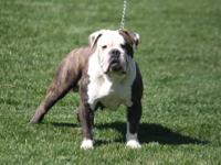 I have a beautiful 3 year old English Bulldog (AKC