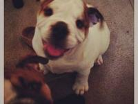 English Bulldog wanted Puppy or Young adult Willing to