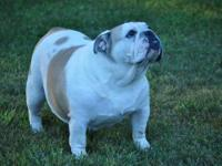 Molly is a 3 year old fawn& white English Bulldog.