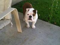 Narley is an 8 mth old male AKC english bulldog with