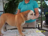 English bulldog puppies that are ready to go to their