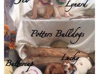 We have beautiful English bulldog puppies that are