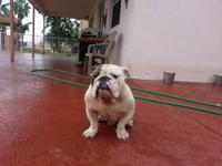 I'm selling a female English Bulldog white and tan spot