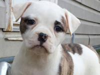 Bentley is a brindle English bulldog that has a