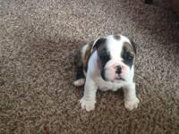 English Bulldog puppies born 12/4/2013 AKC,