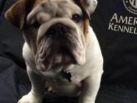 7 month aged English bulldog. Very friendly. Is AKC