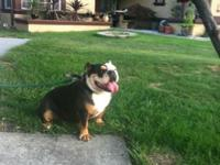Akc English Bulldog Black Tri Lady available for sale