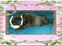 English bulldog puppies born April 30,2014 there was 8