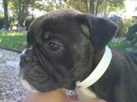 I have a Male Bulldog young puppy for sale I am asking