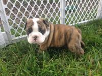 I have one Male absolutely lovely English Bulldog Puppy
