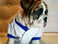 AKC English bulldog puppies for sale 2males, 2females,