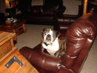 3 years of age female English Bulldog for adoption. She