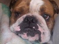 I have a 3yr old male pure reproduced English Bulldog