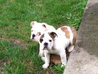Female English Bulldog puppy. AKC Registered, born June