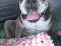 7 YEAR OLD ENGLISH BULLDOG FEMALE HOUSE BROKEN CRATE