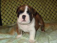 AKC English Bulldog Puppies www.OurBulldogs.net call