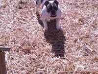 i have beautiful female English bulldog .she over 2
