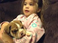 Cute house raised English bulldog young puppies.