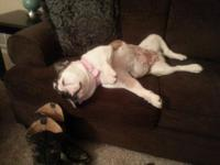 English Bulldog female, 2 yrs old, 55 lbs, spayed, UTD