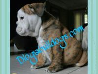 AKC English bulldog Grizzly is 9 wks 1 year health
