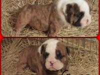 4 male English Bulldog pups for sale. They are