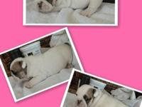 Selling 4 adorable female english bulldogs Akc