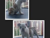 I have 4 English Bulldogs females akc papers shots up