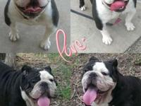 English Bulldog akc planned breeding this month 2