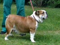 3 year old beautiful female English Bulldog. European