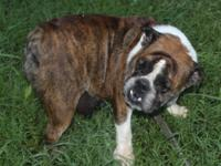 Female English Bulldog  3 years old housebroke ,