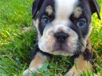 English bulldog ready to go home Shot and deworming Vet