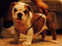 English bulldog puppy. One male left. Born april22 akc