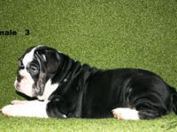 12 weeks old black tri chocolate akc english bulldog