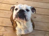 Rosie is an english bulldog out of our last litter. She