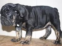 English bulldog Female, akc registered, Black tri. Last
