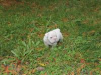 2 male english bulldog puppies. They are 8 weeks on