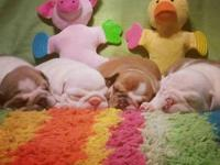 Luv-a-Bull Bulldogs now has avaliable babies! We was