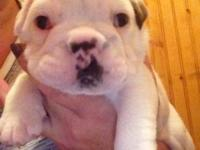 I have 4 beautiful baby bulldogs that are 4 weeks old!