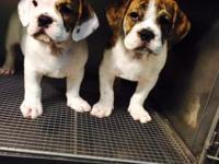 Adorable male/female English Bulldog/Beagle mix